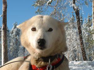 Husky en Sneeuwscooter avontuur Poolcirkel10